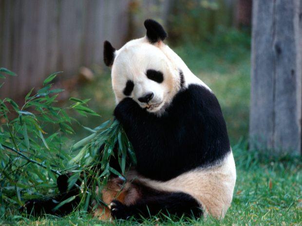 Sweet-Panda-pandas-12538469-1600-1200