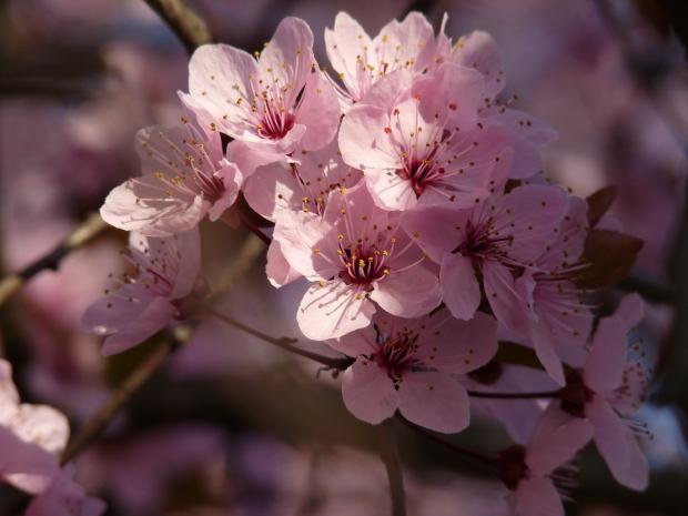 Cherry-blossom-flowers-images_sakura-Japan_hoa-anh-dao2