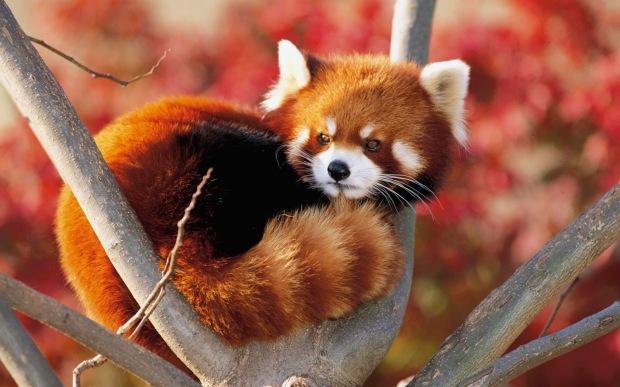 Foto de un panda rojo en un árbol